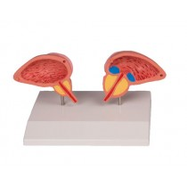 Male Urinary Bladder and Prostate, 2-Part