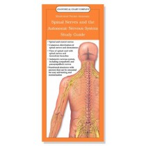 Spinal Nerves and the Autonomic Nervous System Study Guide