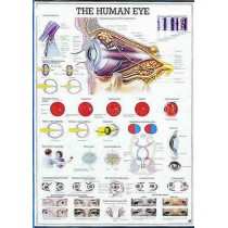 The Human Eye Chart