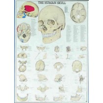 The Human Skull Chart