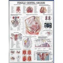 Female Genital Organs Chart
