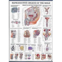 Reproductive Organs Of The Male