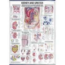 Kidney & Ureter Chart