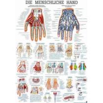 The Human Hand Chart