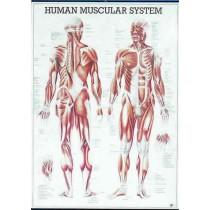 Human Muscular System Chart