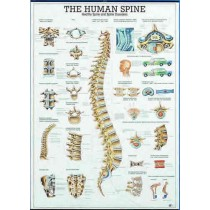 The Human Spine Chart