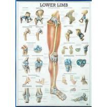 Lower Limb Chart