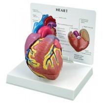 Heart Budget Model