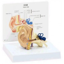 Ear Budget Model