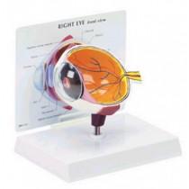 Eye Budget Model