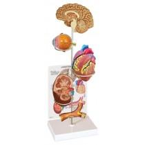 Hypertension Model Set Budget Range