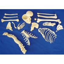 Disarticulated Half Skeleton, 3 Part Skull, Hands And Feet On Nylon