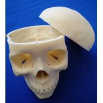 Skull, 3 Part Medical
