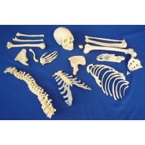 Disarticulated Half Skeleton, 2 Part Skull