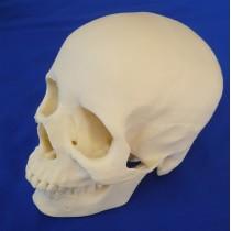 Skull, 2 Part Medical