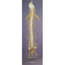 Flexible Spine, Medical with Nerves