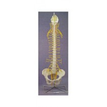Rigid Spine, Medical with Nerves and Pelvis