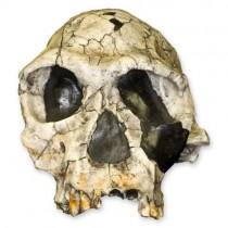 Homo Habilis KNM-ER 1813 (Museum Quality Replica)