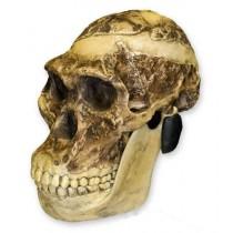 Mrs. Ples Skull + Jaw