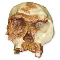 OH 24 Skull