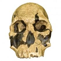 KNM ER 1470, Homo rudolphensis