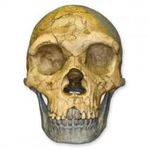 Forbes Quarry Skull