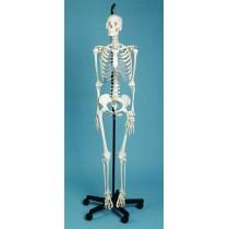Skeleton Medical Quality, Male, 3 Part Skull