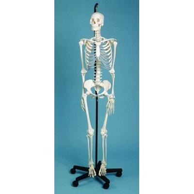 Skeleton Medical Quality, Female