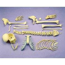 Disarticulated Half Skeleton, 2 Part Skull, Hands And Feet On Nylon