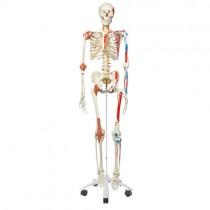 Human Skeleton Special Model