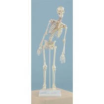 Miniature Skeleton, Flexible Spine with Muscle Attachments