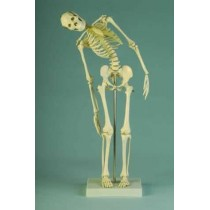 Miniature Skeleton With Flexible Spine