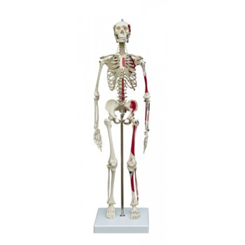 Miniature Skeleton With Muscle Attachments