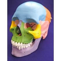 Painted Skull, To Show Bones