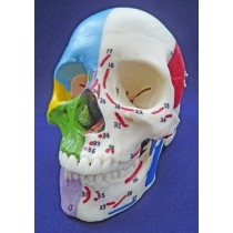 Painted Skull, To Show Muscles & Bones
