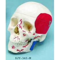 Painted Skull, To Show Muscles