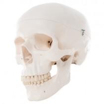 Skull, 3 Part Standard