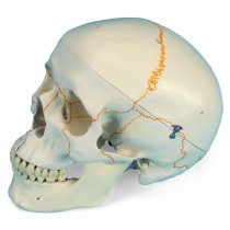 Numbered Skull, Standard