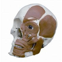 Half Muscled Skull