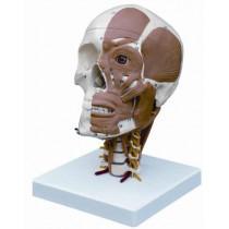 Half Muscled Skull on Muscled Cervical Vertebrae