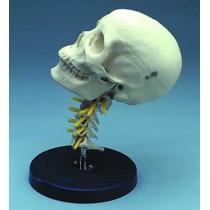 Cervical Skull