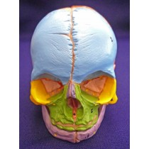 Didactic Foetal Skull with Cranial Nerve Exits