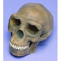 Skull Replica, Peking Man