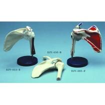 Shoulder Joint Movable