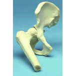 Hip Joint Movable