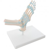 Skeletal Foot with Ligaments