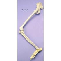 Leg & Half Pelvis Articulated