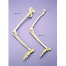 Leg & Half Pelvis Articulated On Nylon