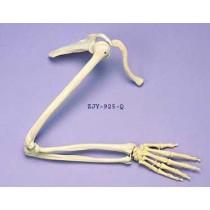 Arm & Shoulder Articulated