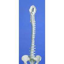 Rigid Spine, Medical, With Pelvis